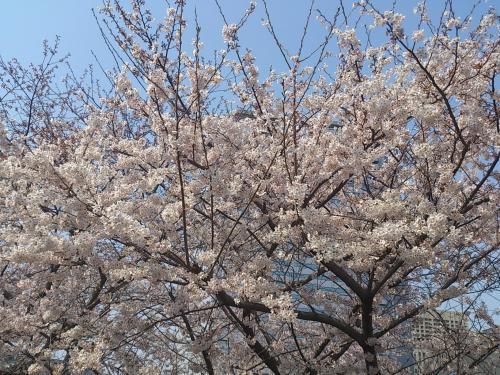 大阪城桜1