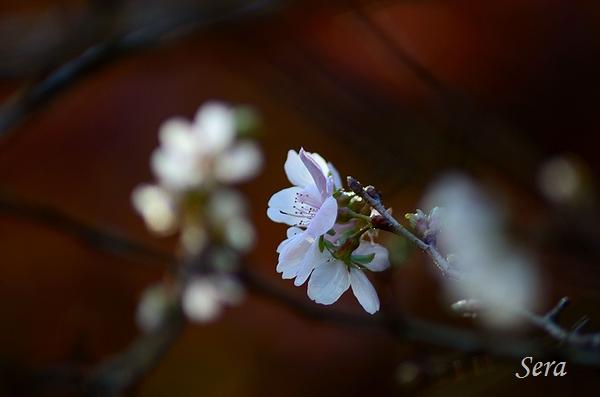 四季桜 小原村