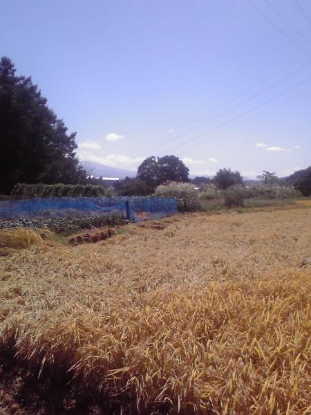 青空と稲田と