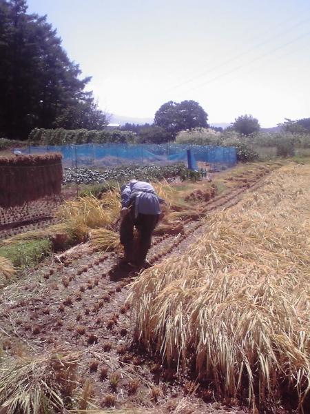 稲刈る農婦