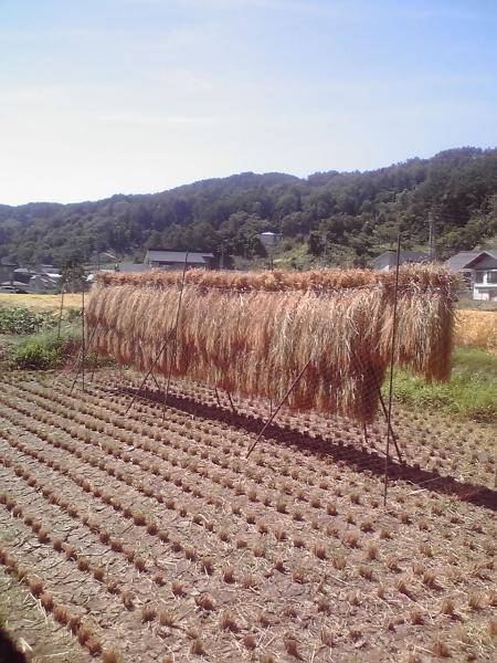 稲束の風景