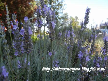 いつも近所に咲いているラベンダーの香りで癒されました。