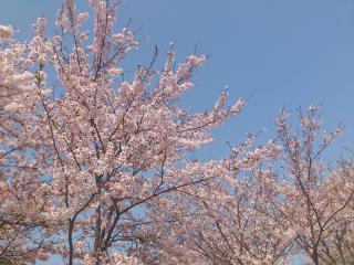 中之島公園の桜