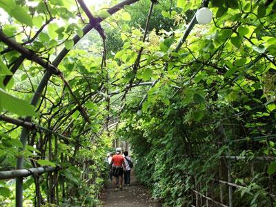 紫陽花のトンネル・・・になる予定^^;