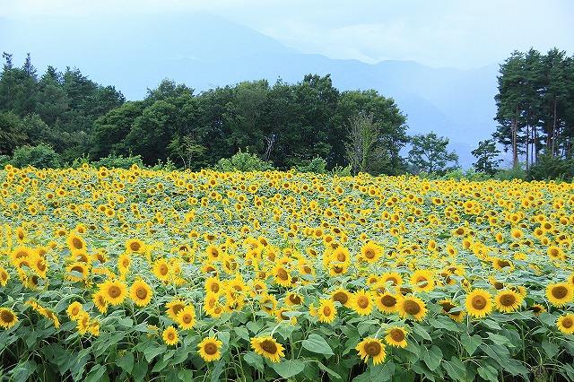 IMG_4622明野ひまわり畑