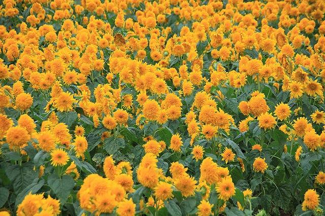 IMG_4648明野ひまわり畑