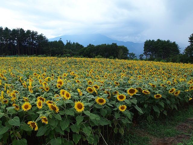 090明野ひまわり畑