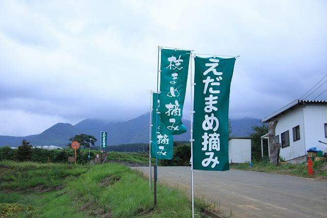 IMG_4653枝豆摘み