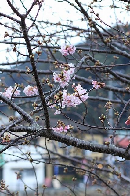 IMG_9388河津桜祭り