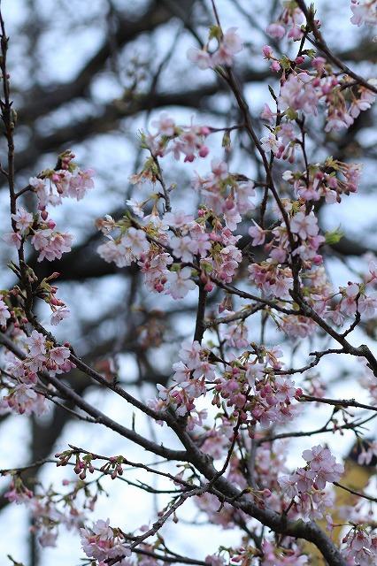 IMG_9380河津桜祭り