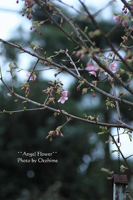 IMG_9596河津桜
