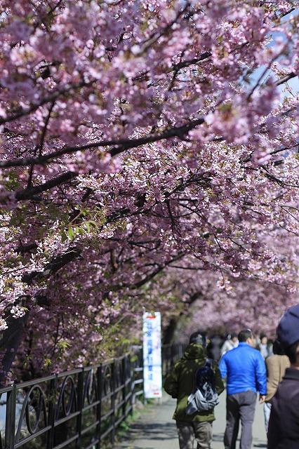 IMG_9933河津桜