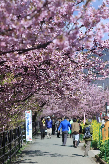 IMG_9935河津桜