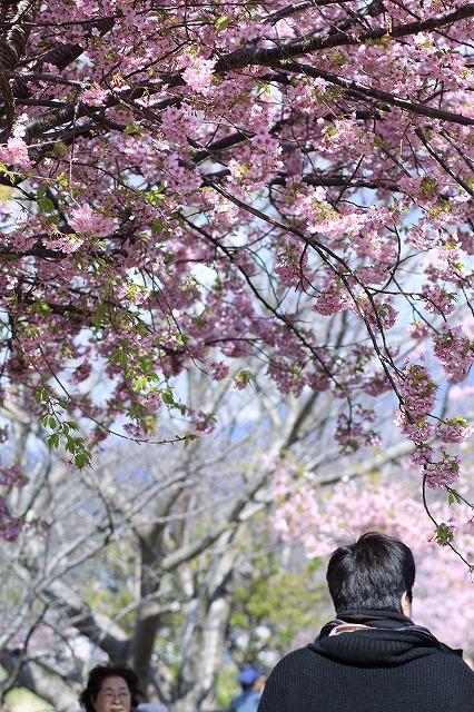 IMG_9947河津桜