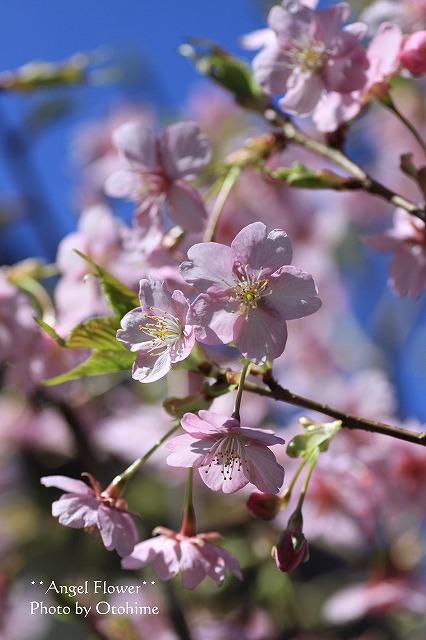 IMG_9735乙姫ガーデンの河津桜