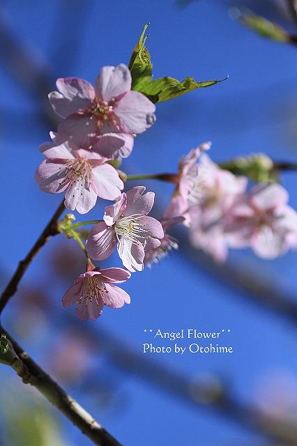 IMG_9693乙姫ガーデンの河津桜