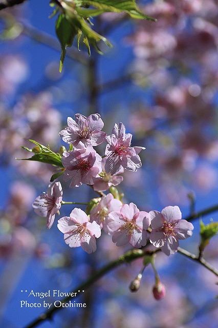 IMG_9697乙姫ガーデンの河津桜