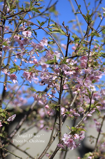 IMG_9712乙姫ガーデンの河津桜