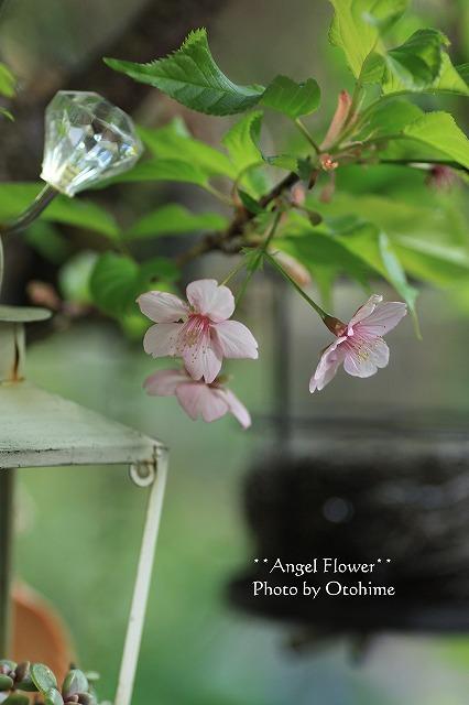 IMG_0697河津桜