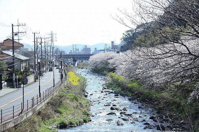 IMG_0967川沿いの桜