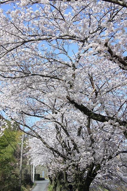 IMG_0975川沿いの桜