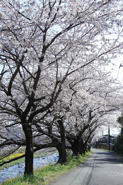 IMG_0978川沿いの桜