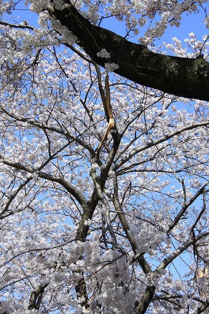 IMG_0980川沿いの桜