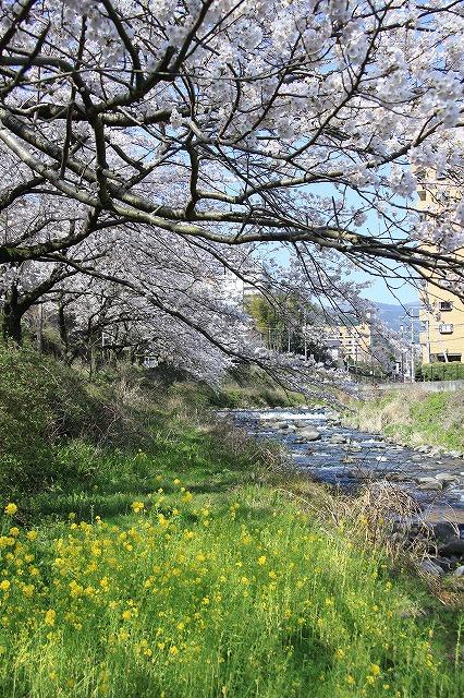 IMG_0983川沿いの桜