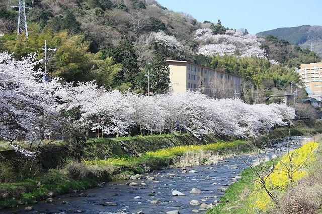IMG_0998川沿いの桜
