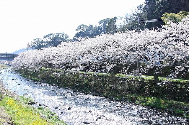 IMG_1002川沿いの桜