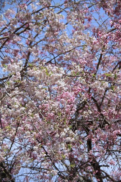 IMG_1464しだれ桜