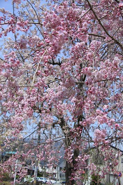 IMG_1474枝垂れ桜