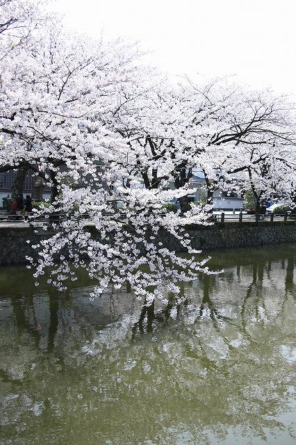 IMG_1531小田原城の桜