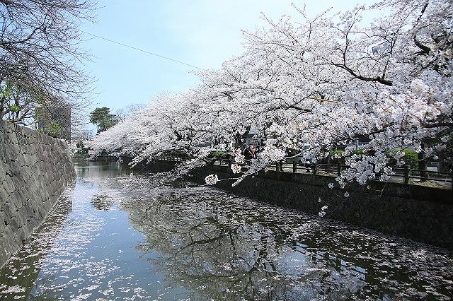 IMG_1551小田原城の桜