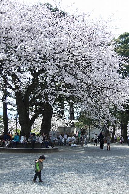 IMG_1562小田原城の桜