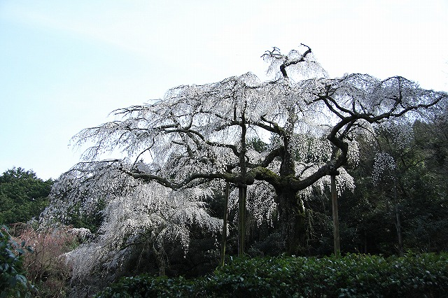 IMG_1571長興山の枝垂れ桜