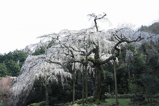 IMG_1579長興山の枝垂れ桜