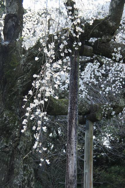 IMG_1594長興山の枝垂れ桜