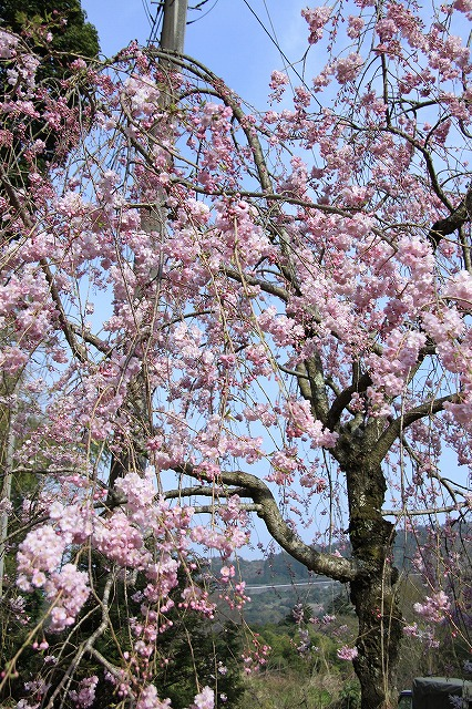 IMG_1598長興山の枝垂れ桜