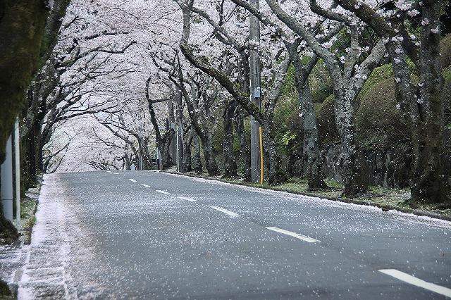 IMG_1698伊豆高原さくらのトンネル