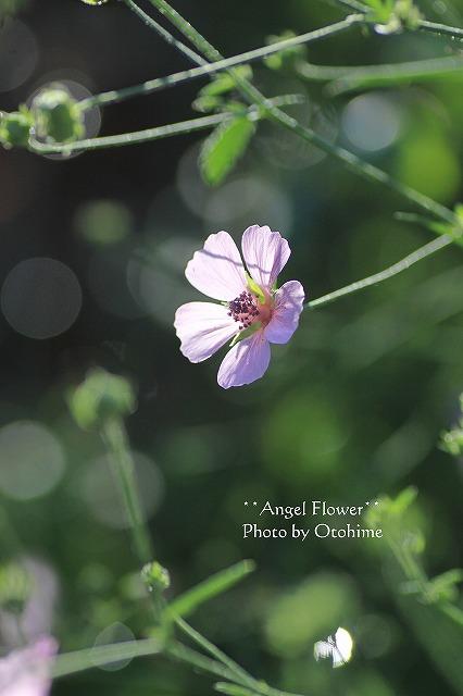 アルセアカンナビナ花