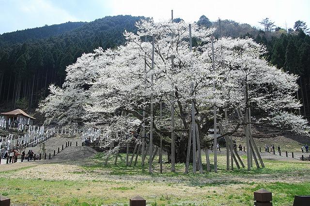 IMG_2480薄墨桜