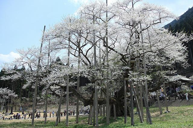 IMG_2483薄墨桜
