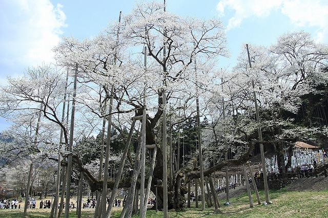 IMG_2486薄墨桜