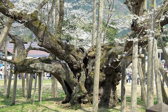 IMG_2495薄墨桜