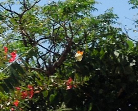 ツマベニチョウ