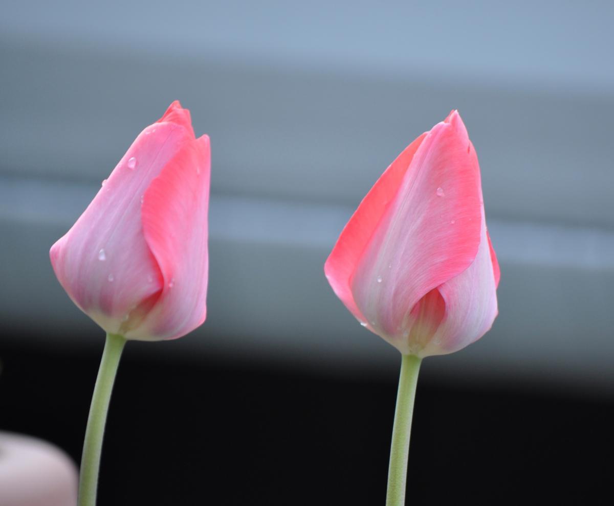 一重咲赤の蕾