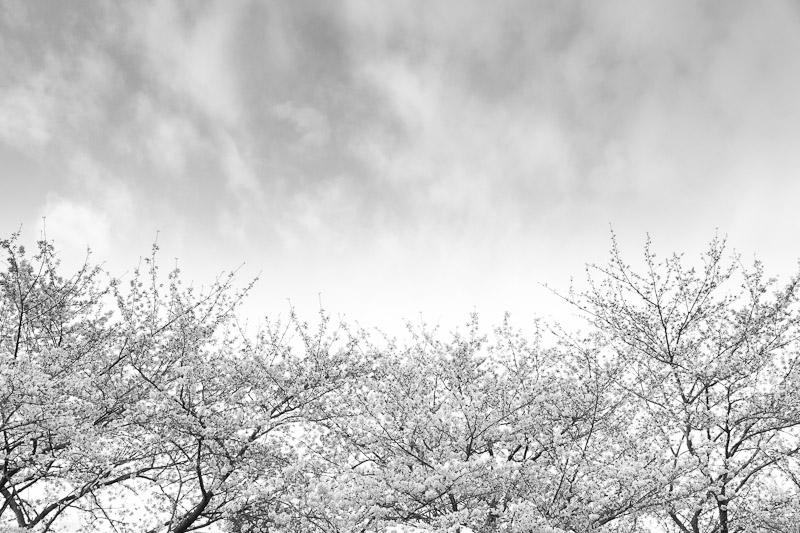 1-sakura_variation_I.jpg