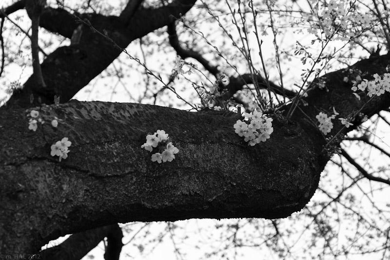 4-sakura_variation_I.jpg