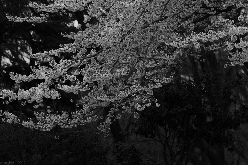 6-sakura_variation_I.jpg